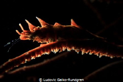 Spooky backlit dragon shrimp by Ludovic Galko-Rundgren